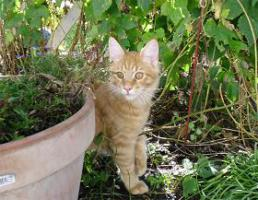 Foto 3 Maine Coon Kitten  völlig verschmuste Katerbärchens