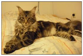 Maine Coon vom Lennetal
