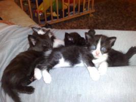 Foto 3 Maine Coon Mischlings-Kitten abzugeben