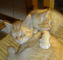 Foto 4 Maine Coon Mix