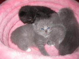 Foto 2 Maine Coon Mix Kätzchen