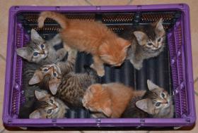 Maine-Coon-Mix Kitten zu verkaufen