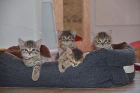 Foto 2 Maine-Coon-Mix Kitten zu verkaufen