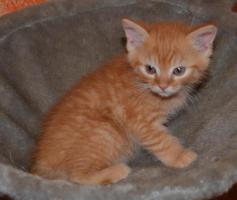 Foto 3 Maine-Coon-Mix Kitten zu verkaufen