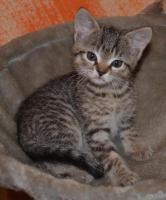 Foto 4 Maine-Coon-Mix Kitten zu verkaufen