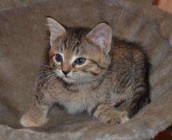 Foto 5 Maine-Coon-Mix Kitten zu verkaufen