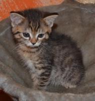 Foto 6 Maine-Coon-Mix Kitten zu verkaufen