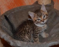 Foto 7 Maine-Coon-Mix Kitten zu verkaufen