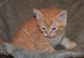 Foto 8 Maine-Coon-Mix Kitten zu verkaufen