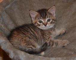 Foto 9 Maine-Coon-Mix Kitten zu verkaufen