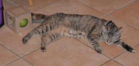 Foto 10 Maine-Coon-Mix Kitten zu verkaufen