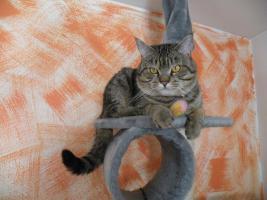 Foto 11 Maine-Coon-Mix Kitten zu verkaufen