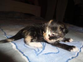 Foto 3 Maine Coon-Norweger kitten langhhaar
