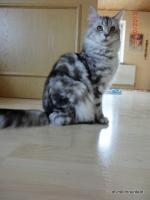 Foto 2 Maine Coon Silverlady