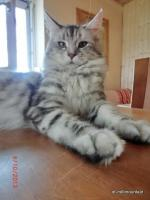 Foto 4 Maine Coon Silverlady