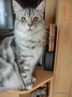 Foto 5 Maine Coon Silverlady