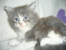 Foto 4 Maine Coon babies
