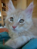 Foto 5 Maine Coon creme