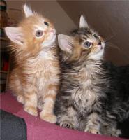 Foto 2 Maine Coon katzchen aus Championverpaarung