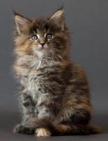 Foto 3 Maine Coon katzchen aus Championverpaarung