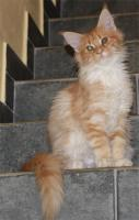 Foto 2 Maine Coon kitten