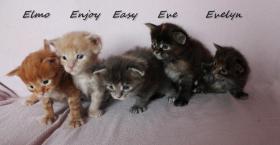 Maine Coon kitten mit Papieren