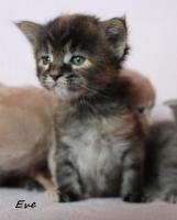 Foto 5 Maine Coon kitten mit Papieren