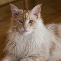 Maine Coon - Katzen und Kater mit Papiere