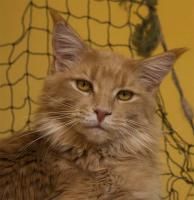 Foto 3 Maine Coon - Katzen und Kater mit Papiere