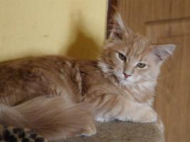Foto 4 Maine Coon - Katzen und Kater mit Papiere