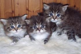 Maine-Coon - Perser Mix Kitten