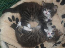 Maine Coon, Sibirische Katzebabys mit Papiere