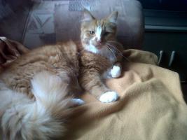 Maine Coonkater mit unzertrennlichen Anhang (Schwarz, weiß, rote kurzhaar Katze)