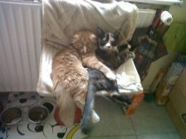 Foto 2 Maine Coonkater mit unzertrennlichen Anhang (Schwarz, weiß, rote kurzhaar Katze)