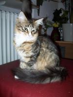 Maine Coonkatzen mit Stammbaum
