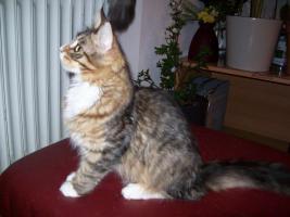 Foto 2 Maine Coonkatzen mit Stammbaum