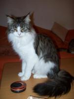 Foto 3 Maine Coonkatzen mit Stammbaum