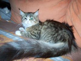 Foto 5 Maine Coonkatzen mit Stammbaum