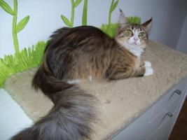 Foto 6 Maine Coonkatzen mit Stammbaum