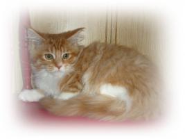 Maine Kitten in verschiedenen Farben aus Messiehaltung