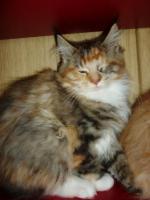 Foto 2 Maine Kitten in verschiedenen Farben aus Messiehaltung