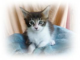 Foto 3 Maine Kitten in verschiedenen Farben aus Messiehaltung