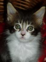 Foto 4 Maine Kitten in verschiedenen Farben aus Messiehaltung