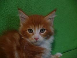 Foto 3 Maine coon