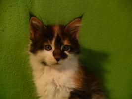 Foto 4 Maine coon