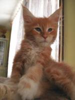 Foto 4 Maine coon kitten mit Papiere