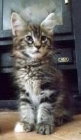 Foto 6 Maine coon kitten mit Papiere