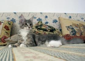 Foto 2 Maine coon kitten mit Papiere