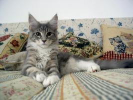 Foto 3 Maine coon kitten mit Papiere
