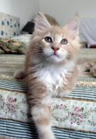 Foto 2 Maine coon kitten mit Stammbaum